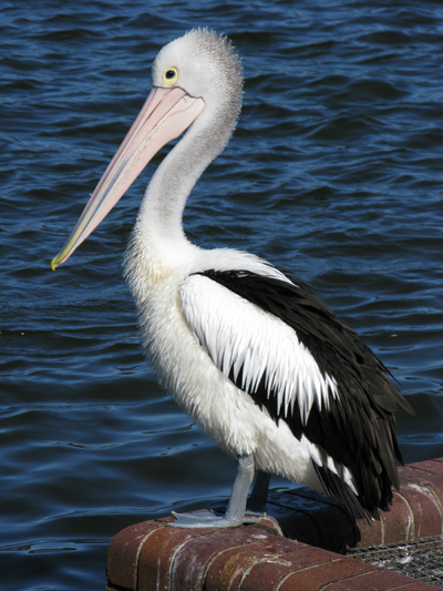 A new pelican IMG_0779