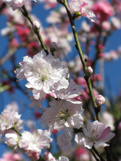 Cherry blossom ready