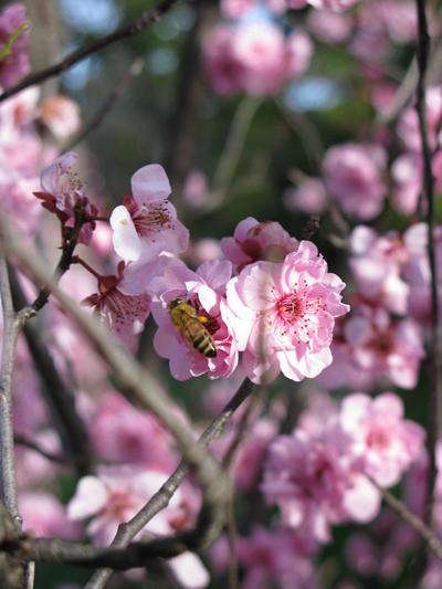 Adelaide Cherry blossom 3jpg