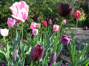 Aug 16th Tulips