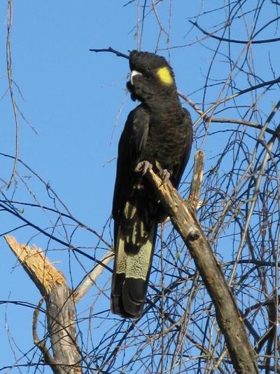 Aug Black cockatoo