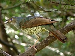 300px-Ptilonorhynchus_violaceus_-Bunya_Mountains-8
