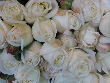 Macleay st roses