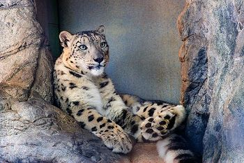 AnotherSnowLeopard