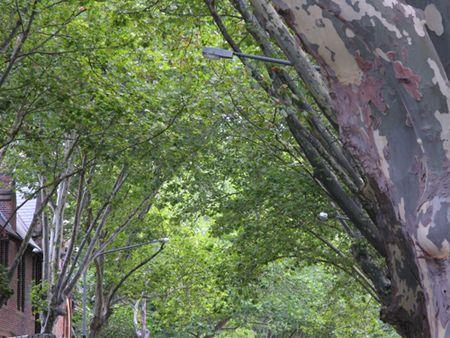 Tree canopy Victoria Street