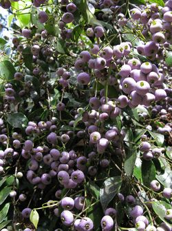 Sss berries