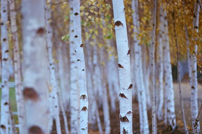 Bryan.W.Ferry birch
