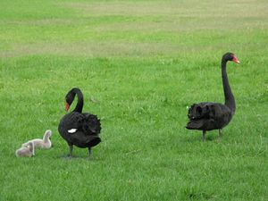 Swans and signets 2