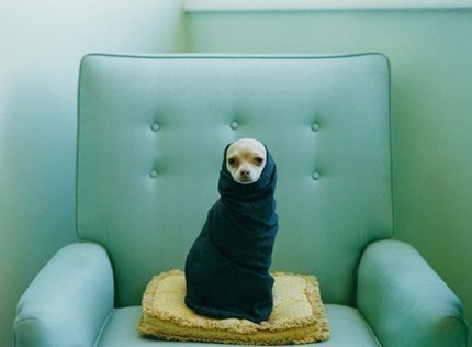 LucySnowePhotography_Chihuahua in a scarf