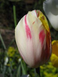 Tulip_4_Matou_en_Peluche