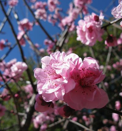 Cherry_Blossoms_Matou_en_Peluche