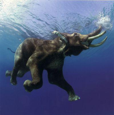 Swimming Elephant_Matou_en_Peluche