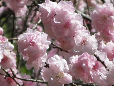Cherry_Blossom_Matou_en_Peluche