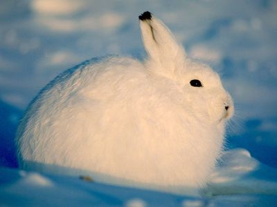 Arctic-hare_National Geographic