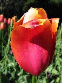Tulip_5_Matou_en_Peluche