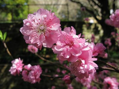 Cherry_Blossom_II_Matou_en_Peluche