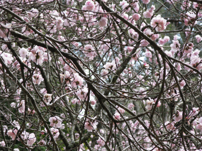 Cherry_Blossom_III_Matou_en_Peluche