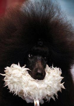Crufts-A-poodle