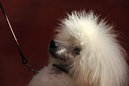 Crufts-A-toy-poodle