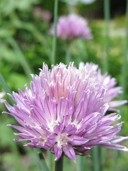 Lilac flower 1 Matou en Peluche