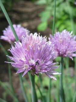 Lilac flower 4