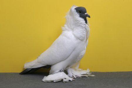 Pigeon_Schmalkaldnener-Mohrenkopf