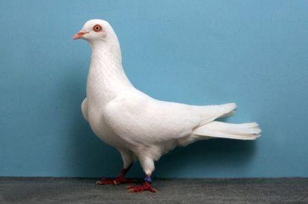 Pigeon_Cumulet