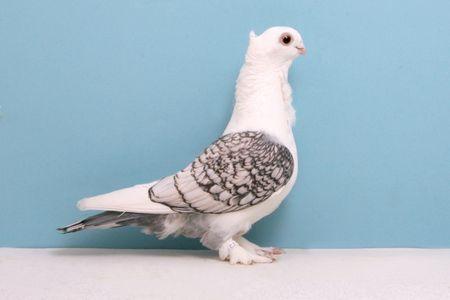 Pigeons_Classic Oriental Frill
