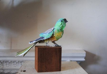 Annawili-Highfield-mr__Grass_Parrot