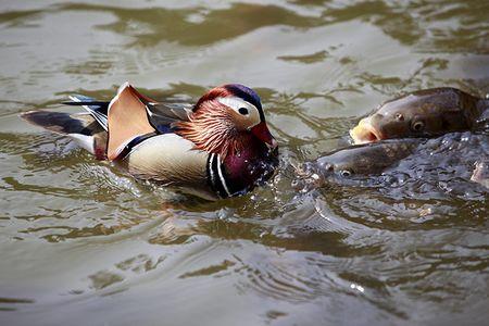 A-Mandarin-duck