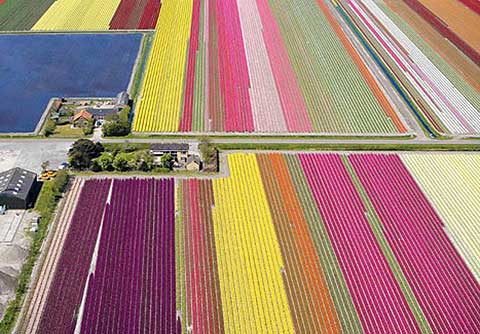 Holland-tulips-2