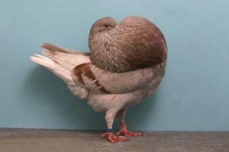 Pigeon_Holle-Cropper