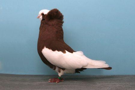 Pigeon_Komorner-Tumbler