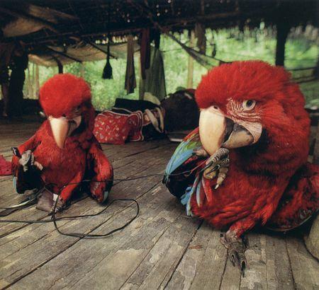 NG-macaws-6