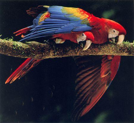 NG-macaw-7