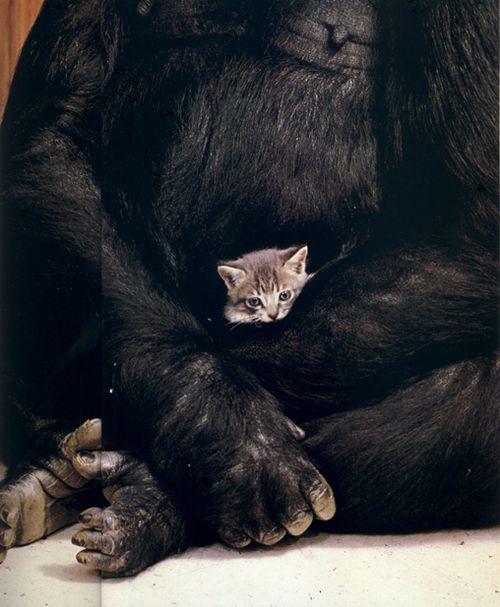 Koko's kitten Matou en Peluche