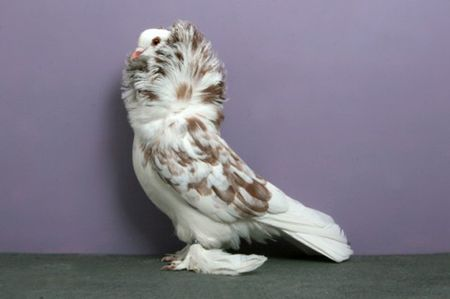 Pigeon_Saint