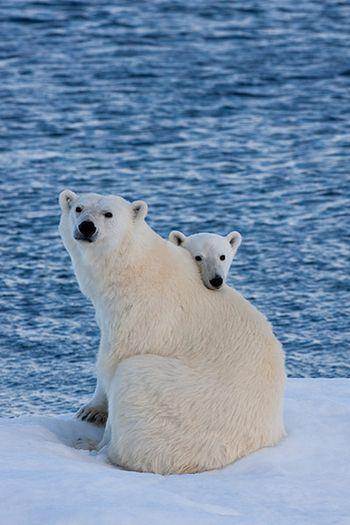 Polar Bear + cub