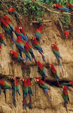 NG-macaw-2