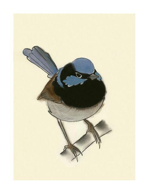 Superb Blue wren matou en Pleuche