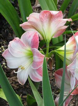 Hippeastrum Lilies