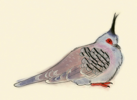Crested pigeon 1
