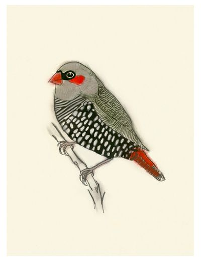 Red-eared firetail Matou en Peluche