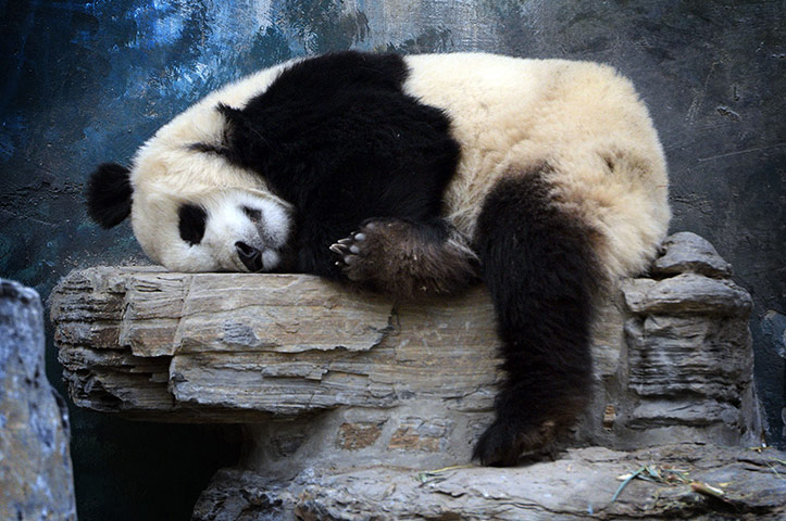 The_Guardian_A-Panda-Bear