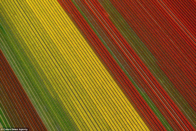 Tulips5_PIC_BY_SIMONE_SBARAGLIA_C