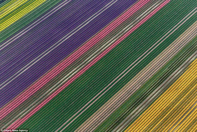 Tulips2_PIC_BY_SIMONE_SBARAGLIA_C