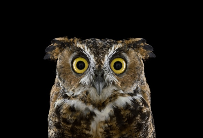 Brad_Wilson_Great_Horned_Owl