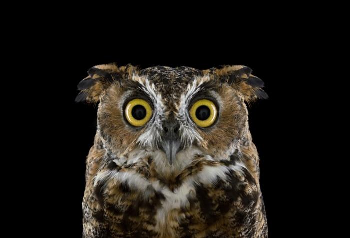Brad_Wilson_Great_Horned_Owl