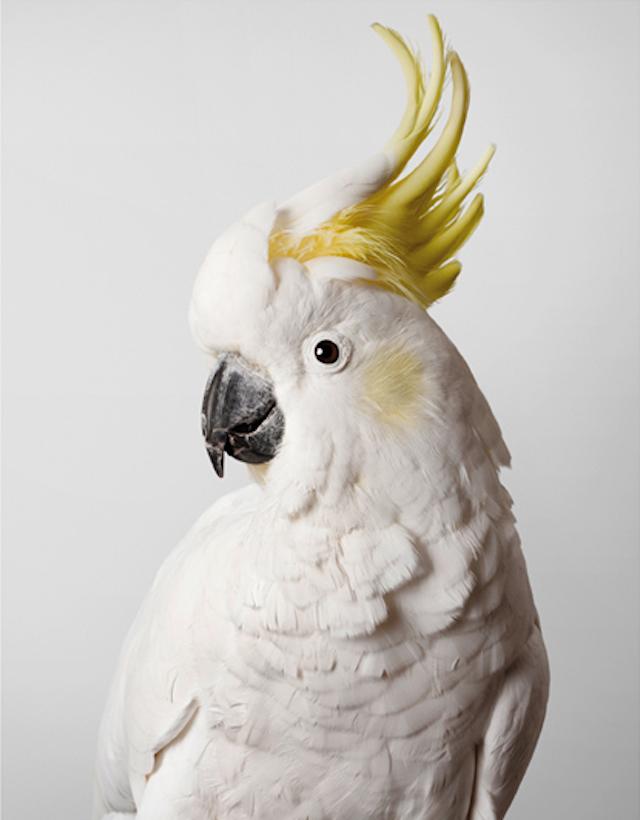 Leila-Jeffreys-sulfur crested cockatoo