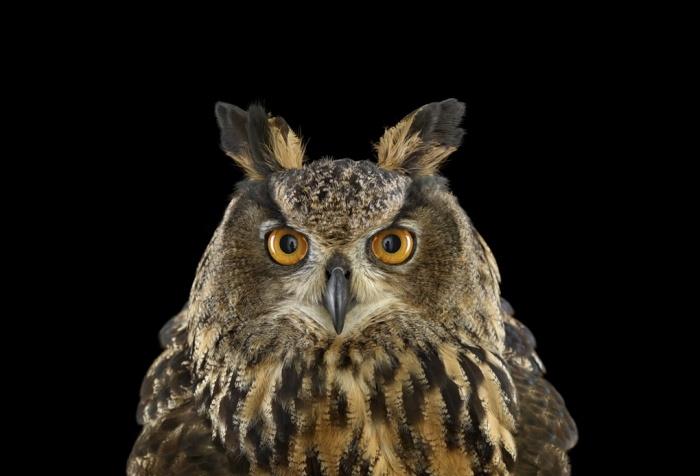 Brad_Wilson_Eurasian_Eagle_Owl
